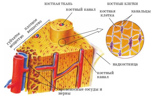 Суставные поверхности кости образованы разрыв голеностопного сустава лечение