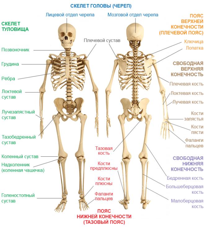 скелет и его отделы в картинках тому